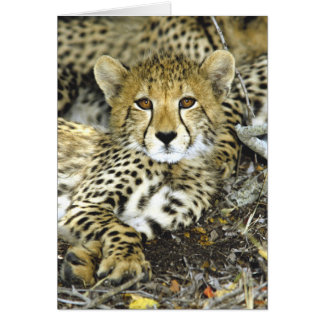 Cheetah Cub 2 Card