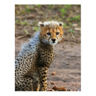 Cheetah Cub Acinonyx Jubatus) as seen in the Postcard