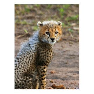 Cheetah Cub Acinonyx Jubatus) as seen in the Postcard