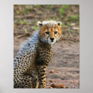Cheetah Cub Acinonyx Jubatus) as seen in the Poster