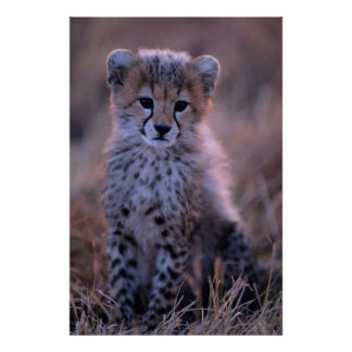 Cheetah Cub (Acinonyx Jubatus) On Savannah, Kenya Poster