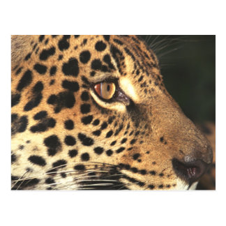 Cheetah Face Postcard