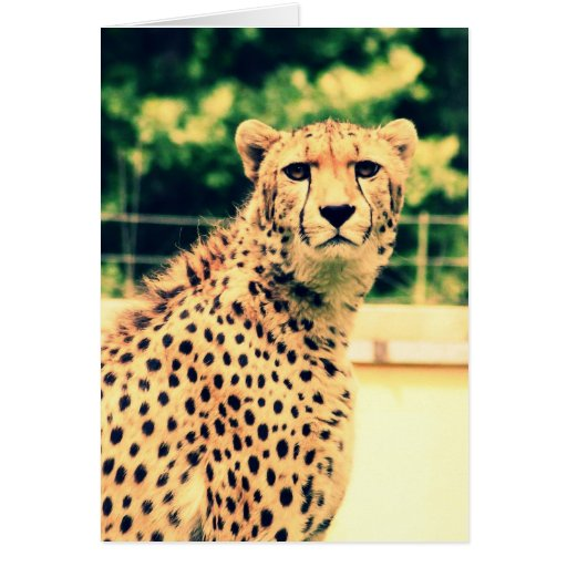 Cheetah glare greeting cards