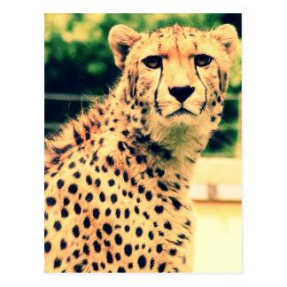 Cheetah glare postcard