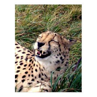 Cheetah_gRINS,_ Postcard