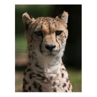 cheetah in the jungle postcard