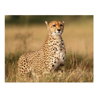 Cheetah on small mound for better visibility postcard