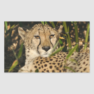 Cheetah photograph rectangular sticker