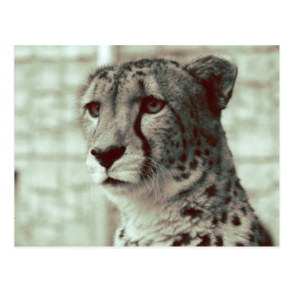cheetah postcard