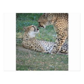 Cheetah Post Card