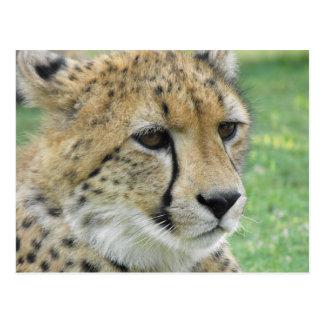 Cheetah Postcards