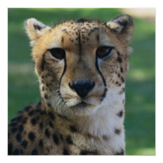 Cheetah relaxing in the shade