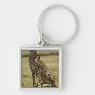 Cheetah resting, Acinonyx jubatus, Masai Mara, Key Ring