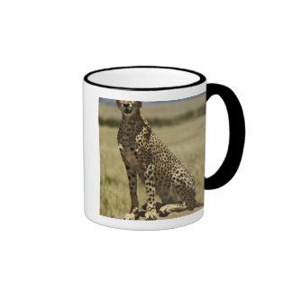 Cheetah resting, Acinonyx jubatus, Masai Mara, Mugs
