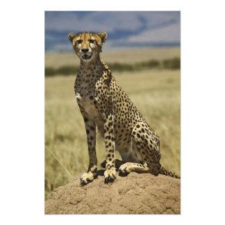 Cheetah resting, Acinonyx jubatus, Masai Mara, Photograph