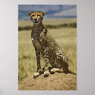 Cheetah resting, Acinonyx jubatus, Masai Mara, Poster