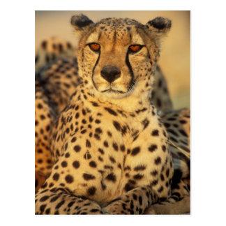 Cheetah, Resting male Postcard