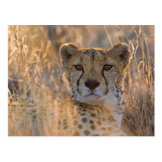Cheetah Resting male Post Card