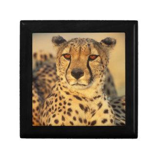 Cheetah, Resting male Small Square Gift Box