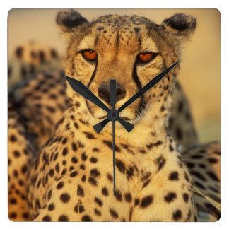 Cheetah, Resting male Square Wall Clock