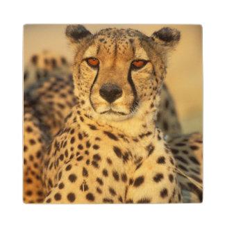 Cheetah, Resting male Wood Coaster