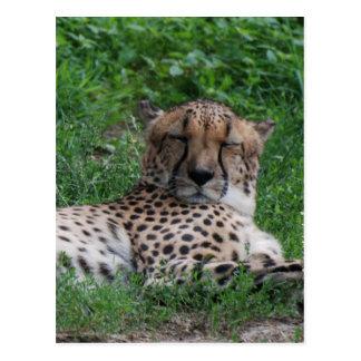 Cheetah Resting Postcards