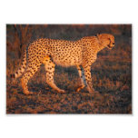 Cheetah South Africa at Sunset Photo Art