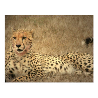 Cheetah Spots Postcard