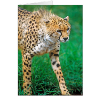 Cheetah Stalking Prey Card