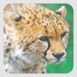 Cheetah Stalking Prey Square Sticker