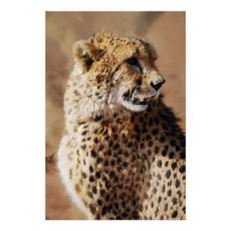 Cheetahs beauty in Africa Print