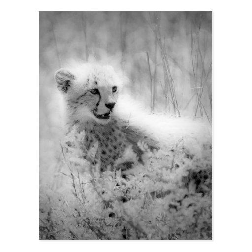 Cheetah's cub post card