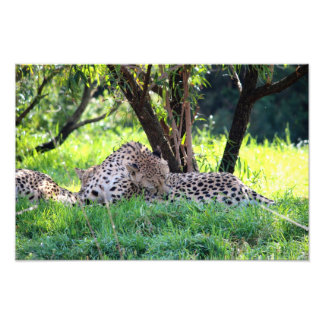 Cheetahs Grooming in the shade Photo