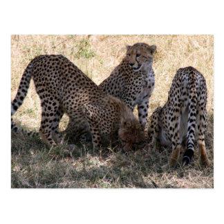 cheetahs post card