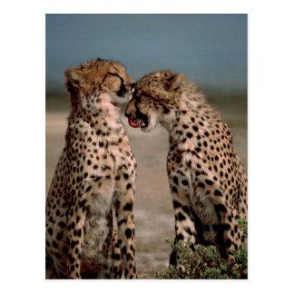 Cheetahs Postcard