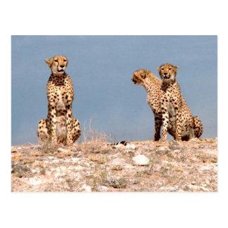 Cheetahs Postcards