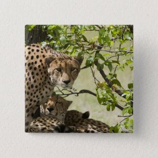 Cheetahs rest in the shade 15 cm square badge