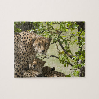 Cheetahs rest in the shade jigsaw puzzle