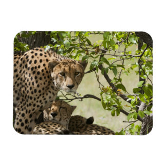 Cheetahs rest in the shade magnet
