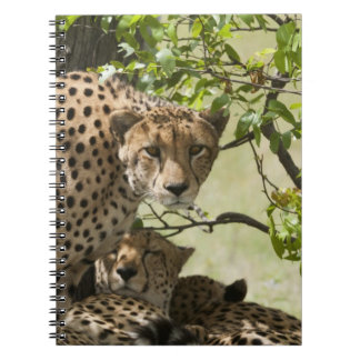 Cheetahs rest in the shade notebook