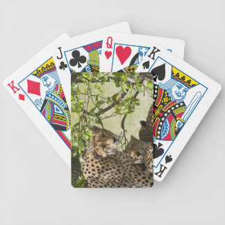 Cheetahs rest in the shade poker deck