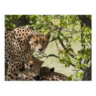 Cheetahs rest in the shade postcard