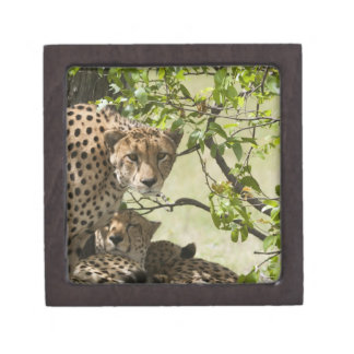 Cheetahs rest in the shade premium jewelry boxes