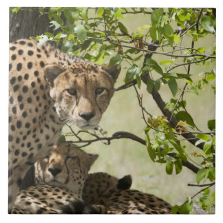 Cheetahs rest in the shade tile