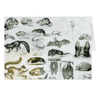 Cheiroptera, Insectivora Card