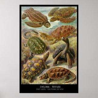 Chelonia-Testudo – Plate 89- Kunstformen der Natur Poster