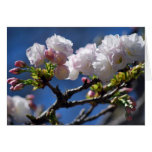 Cherry blossom and meaning
