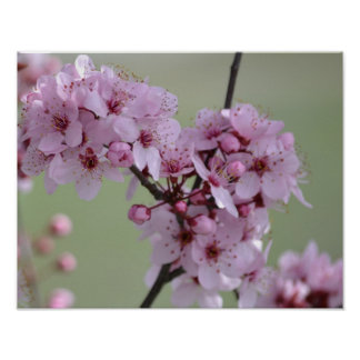 Cherry Blossom Flowers Poster