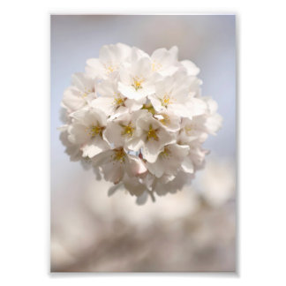Cherry Blossom Photo Print
