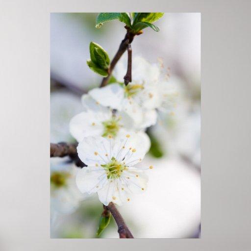 Cherry blossom poster/canvas print